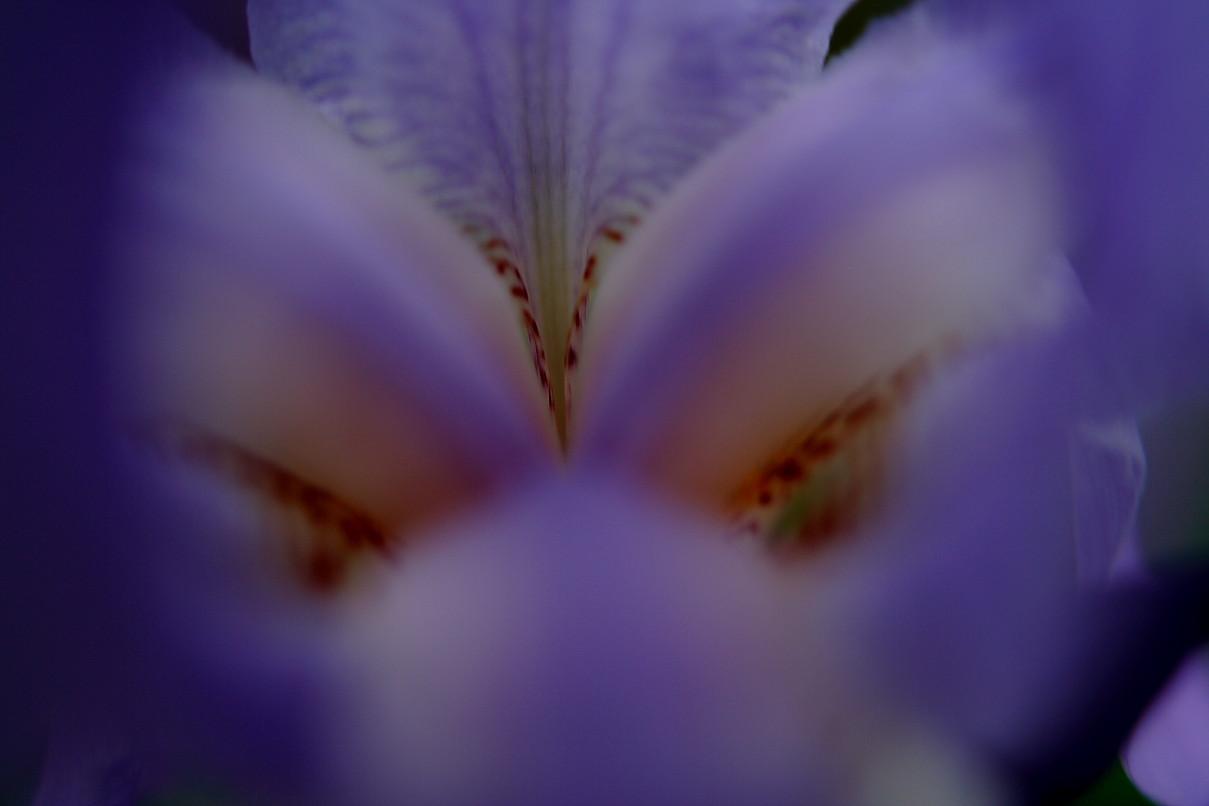 Pruple Iris