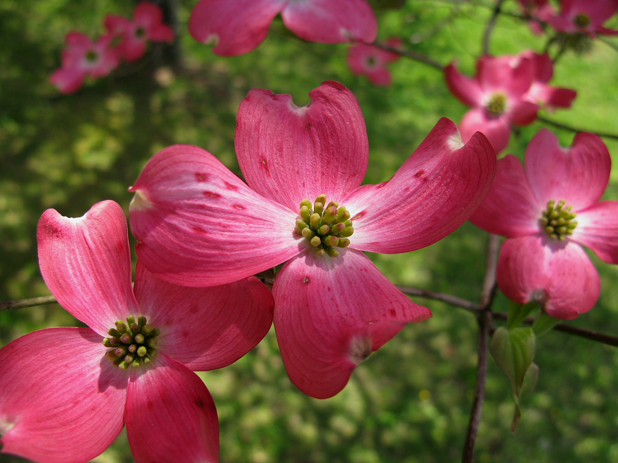 Dorable Pickin Me A Bouquet Of Dogwood Flowers Frieze - Best Evening ...
