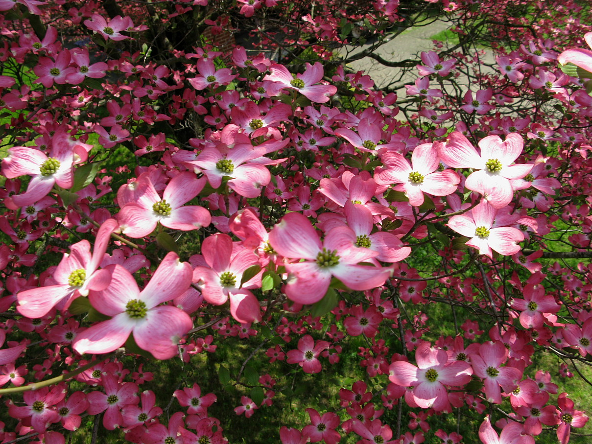http://www.forestwander.com/images/update-9-2008/Flowers/pink-dogwood.JPG