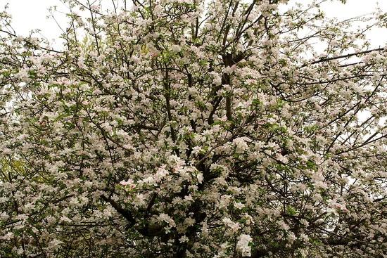 Apple Flowers Tree
