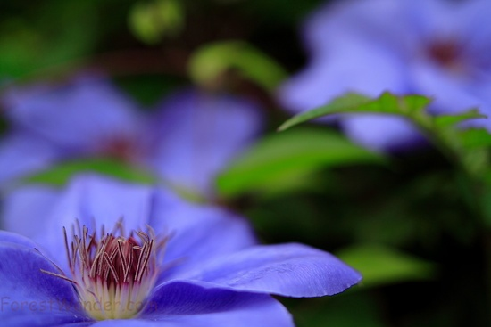 Blue Clematis Flowers