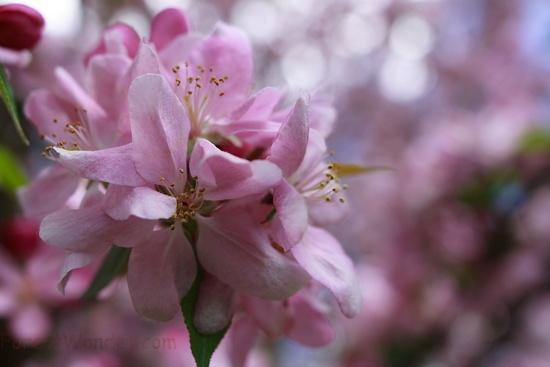 Apple Bloom Spring Flower