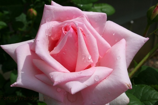 Beautiful Pink Rose Flower Picture