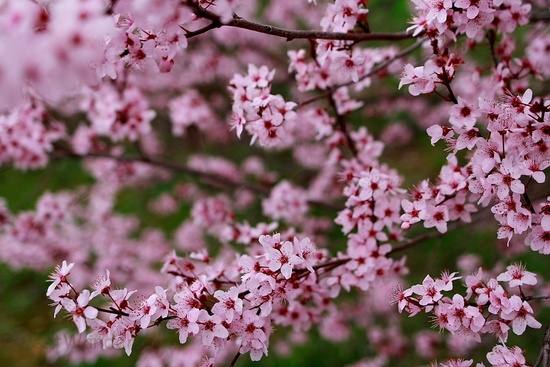 Plum Tree Spring Flower Blossoms