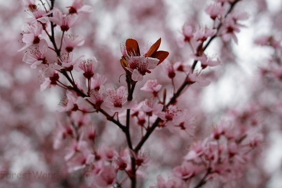 Blooming Spring Plum Tree