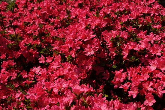 Red Flower Bush Azalea