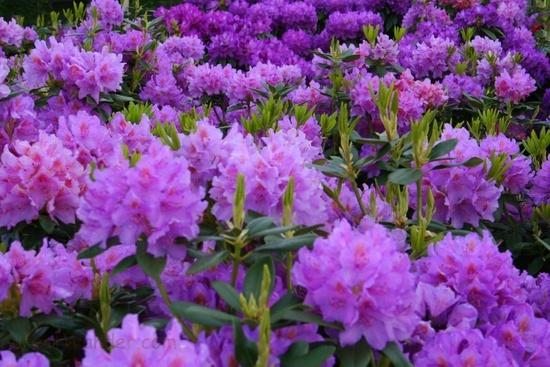 Field Purple Rhododendron Flowers