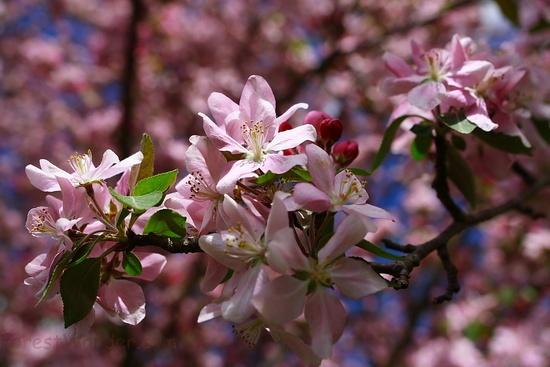 Pink Spring Tree Flowers