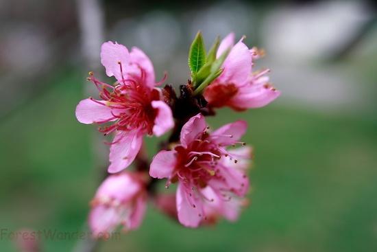 Spring Peach Tree Fruit Blossoms