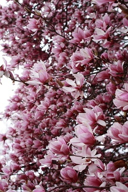 Flowering spring tree flowers in bloom nature wallpaper flowering spring tree flowers in bloom mightylinksfo