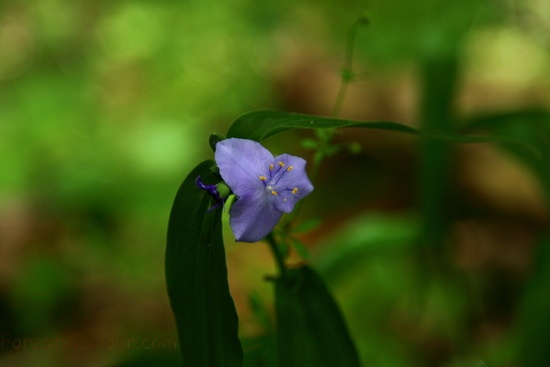 Blue Forest Flower Macro Bright Background