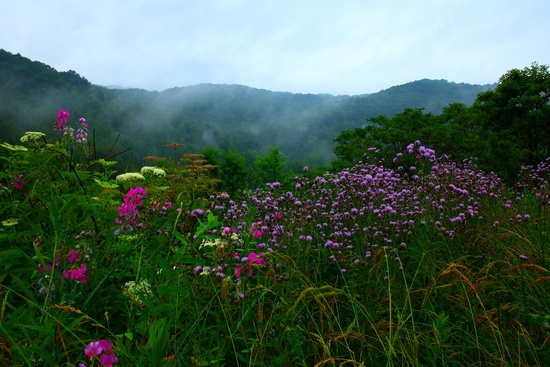 Wv Summer Wildflowers Misty Mountains