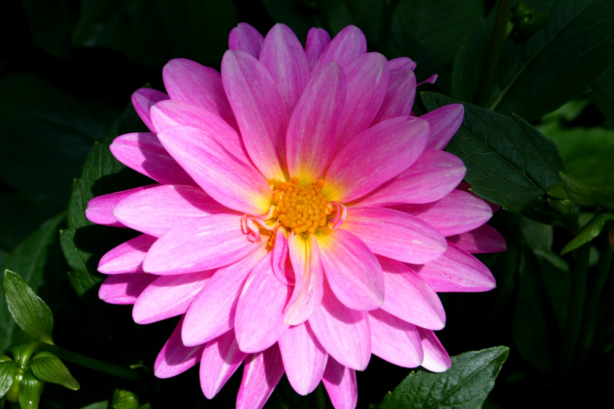 Beautiful Pink Flower Flowers Free Nature Pictures By