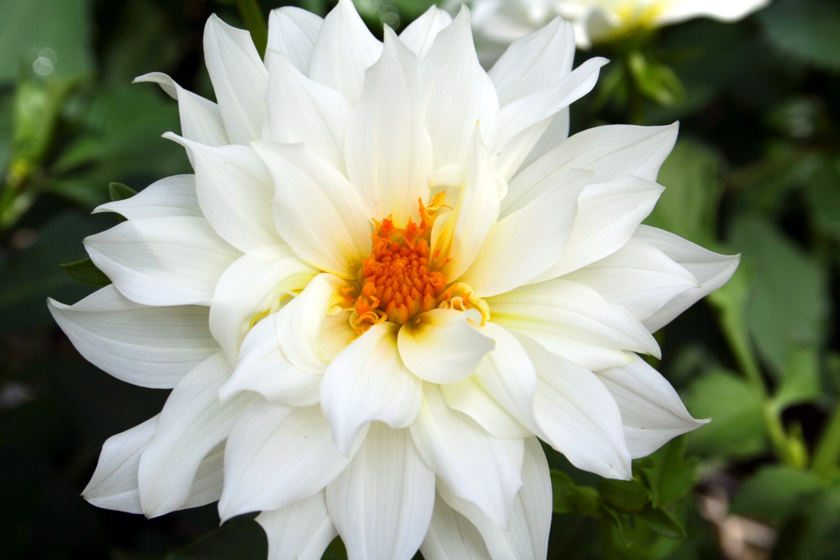 Beautiful White Flower Flowers Free Nature Pictures By
