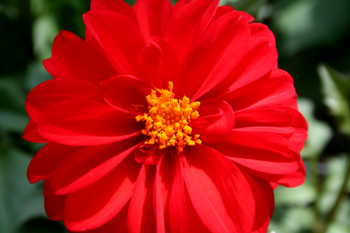 Big Red Flower Flowers