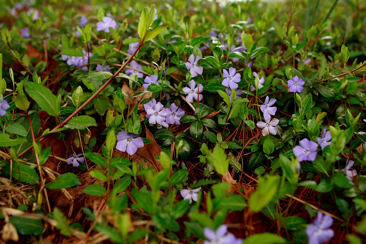 Forget Me Not Flowers Grass Vine Flowers Free Nature Pictures By