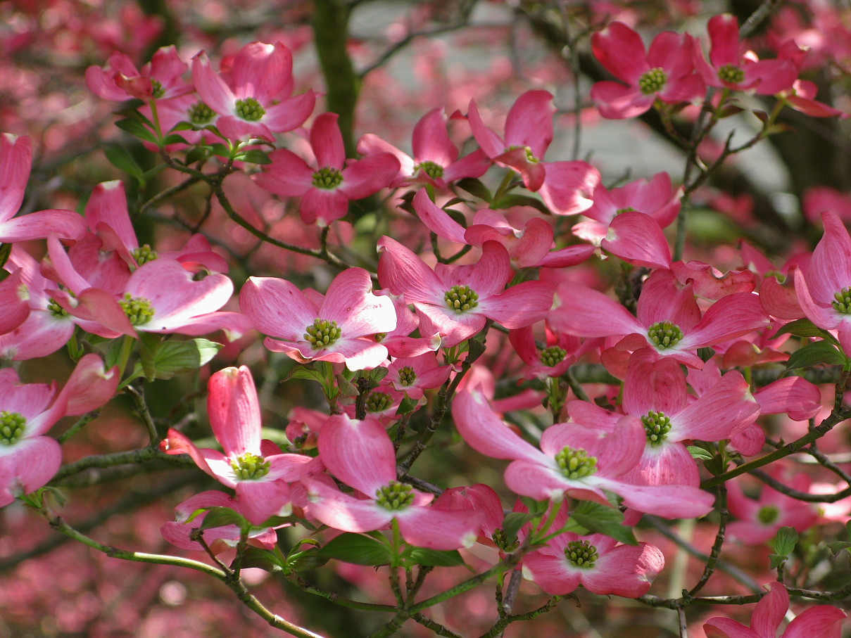 Beautiful Flowers Pink Dogwood Flowers Free Nature Pictures By