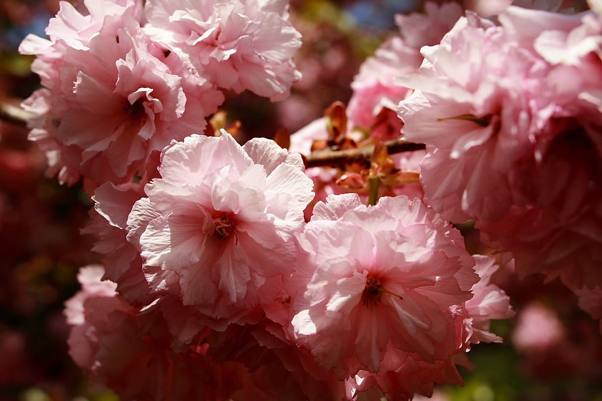 Flowering Pink Tree Bloom Spring