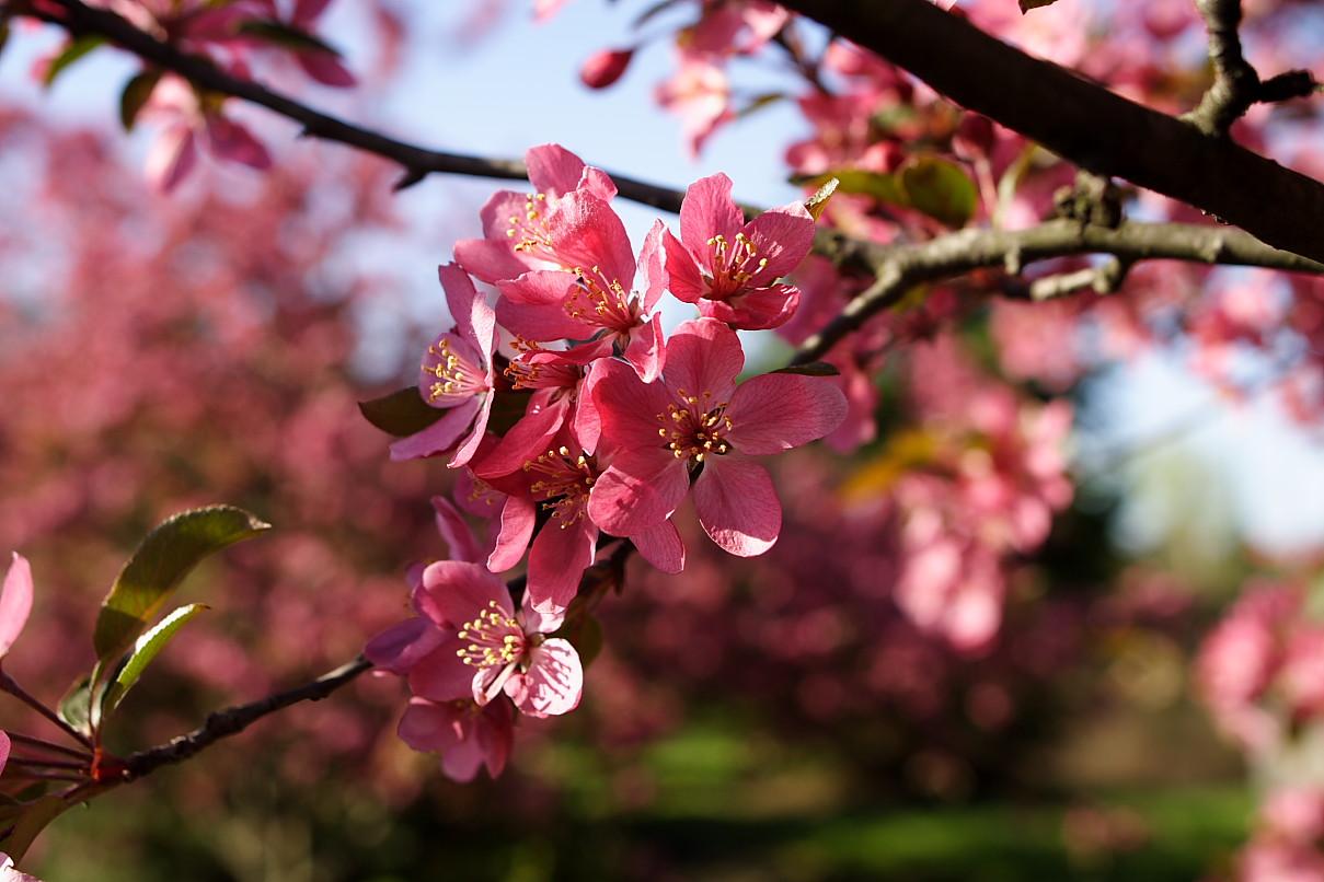 pink spring trees wallpaper - photo #12
