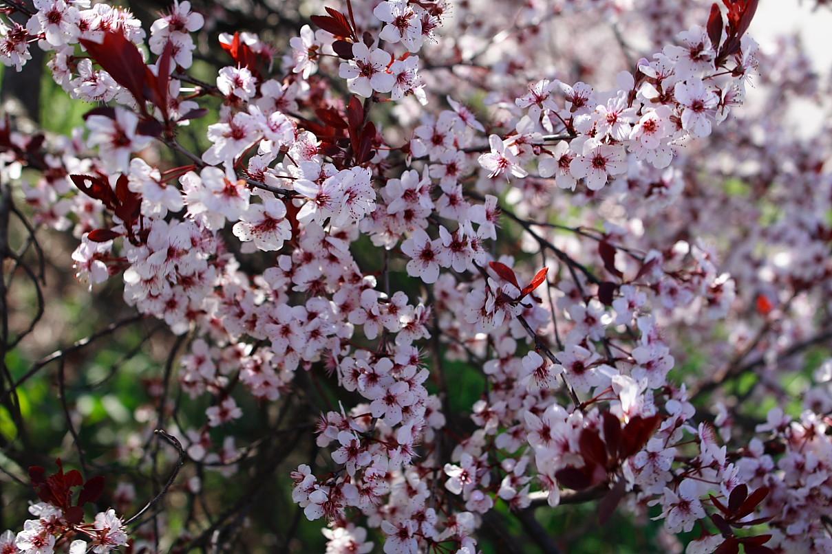 Plum Tree Flower Flowers