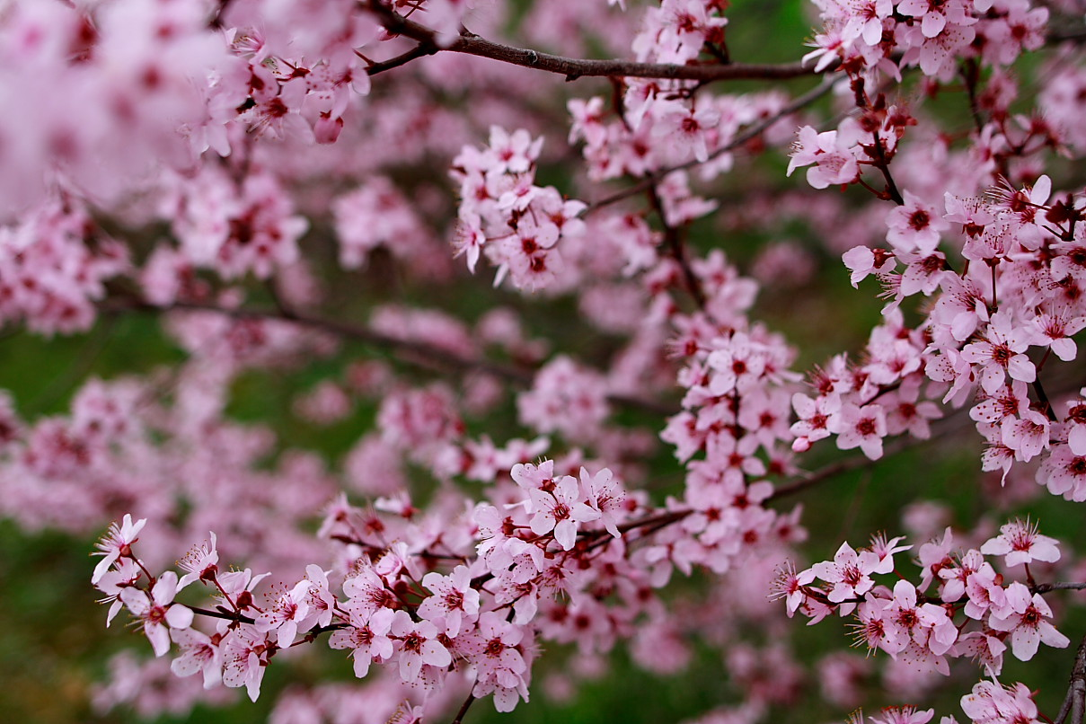 Plum tree spring blossom flowers free nature pictures by plum tree spring blossom mightylinksfo Image collections