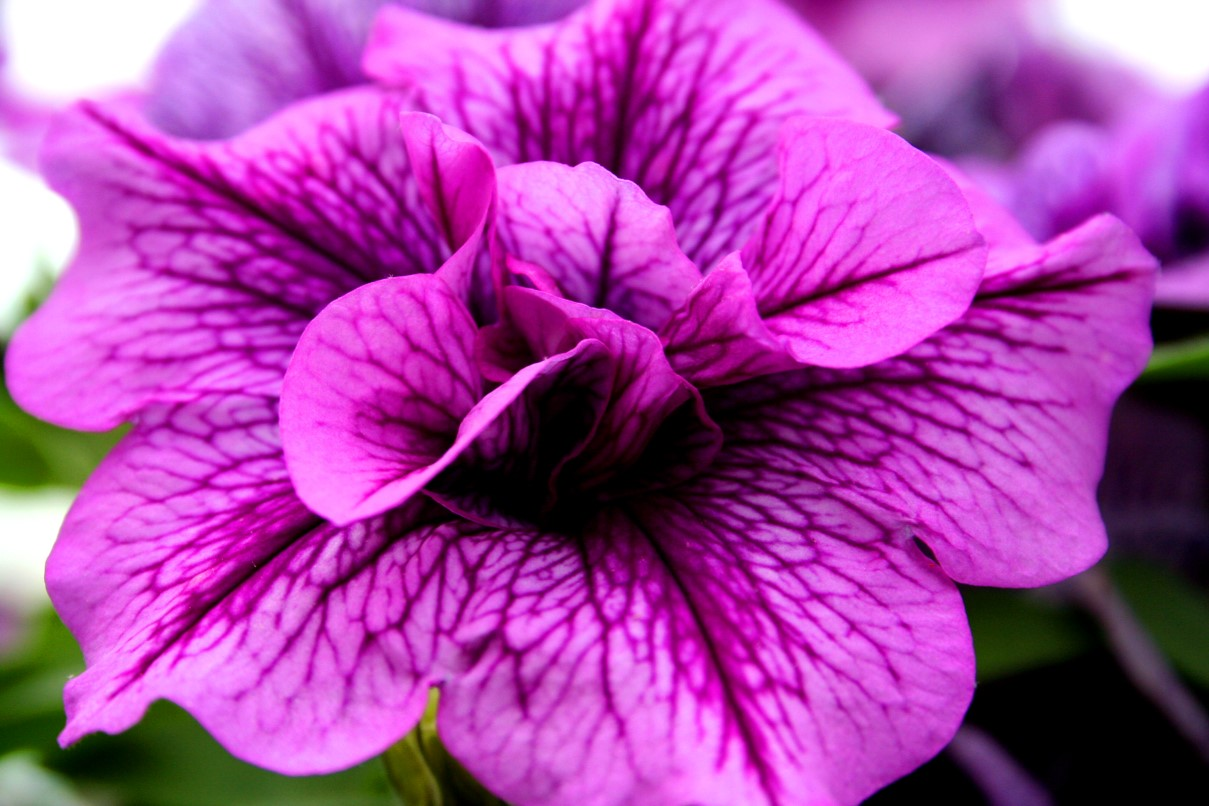 Beautiful Purple Pink Flower Flowers Free Nature Pictures By