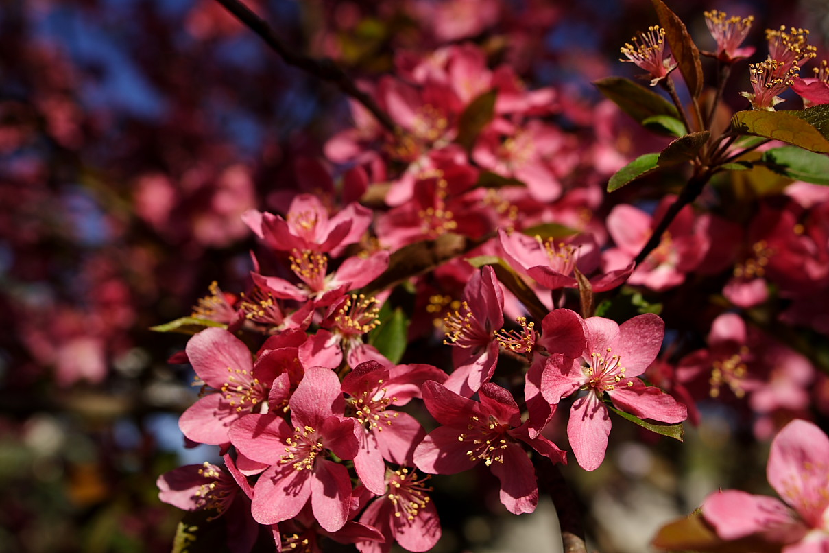 Spring Pink Tree Flower Flowers Free Nature Pictures By