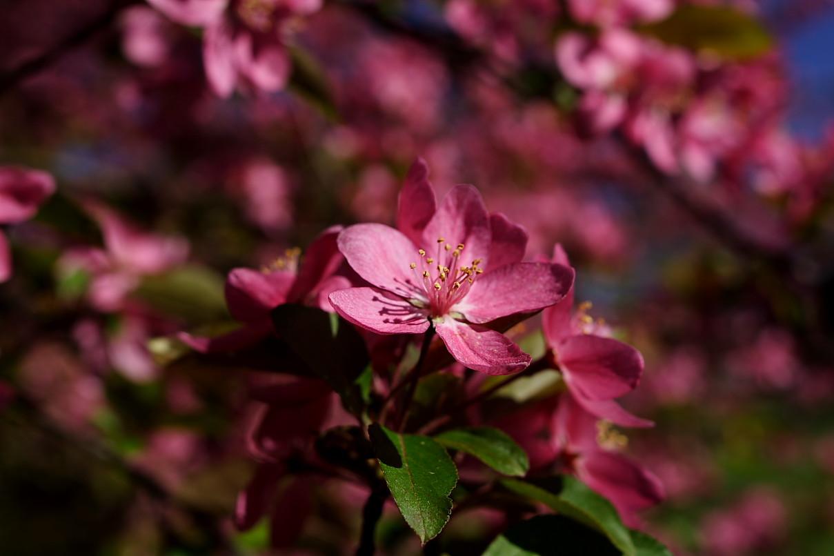 Tree pink bloom spring flower flowers free nature pictures by tree pink bloom spring flower mightylinksfo
