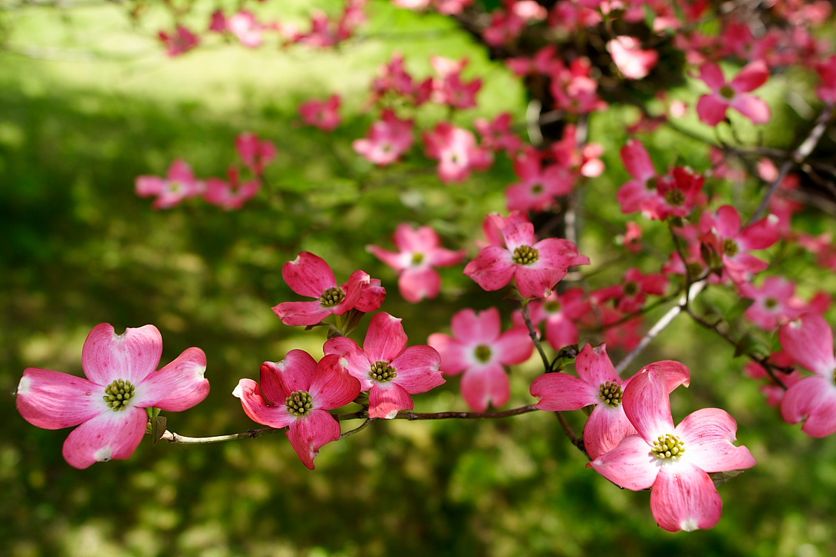 Tree Pink Dogwood Flowers Flowers Free Nature Pictures By