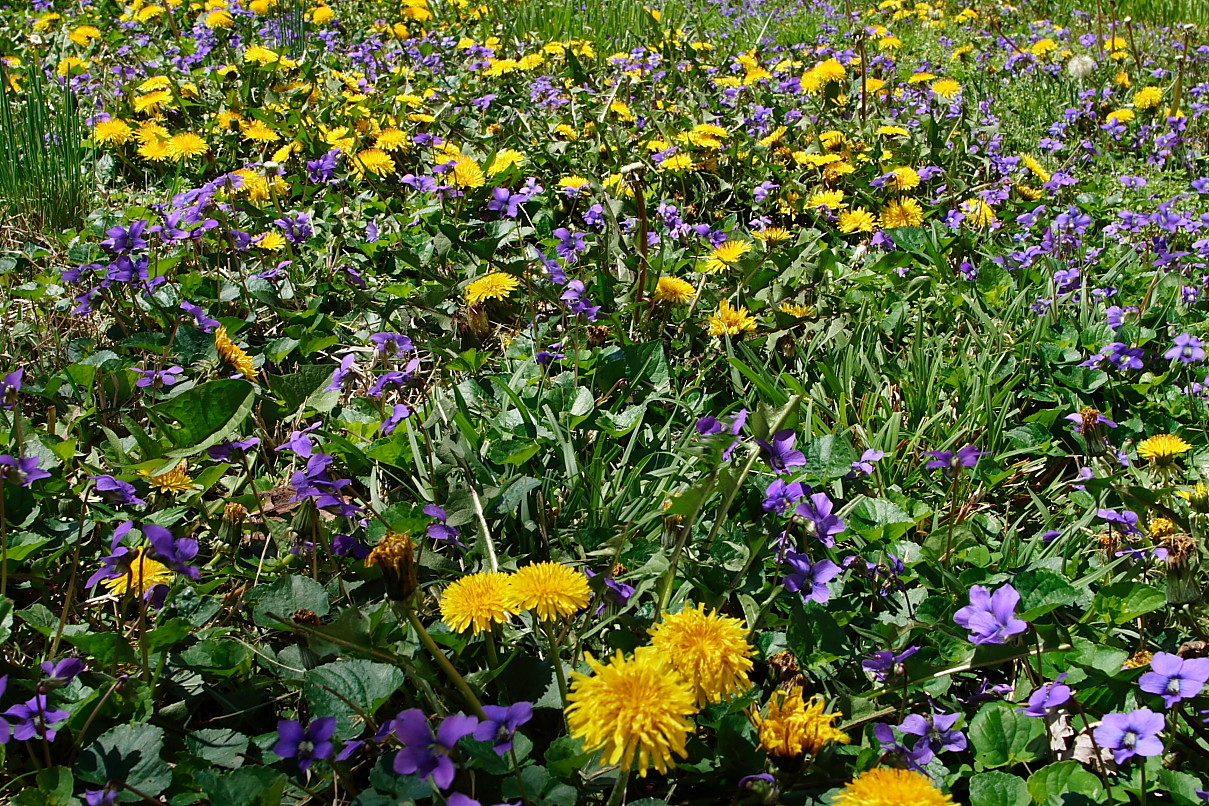 Yellow Blue Spring Wild Flowers Flowers Free Nature Pictures By