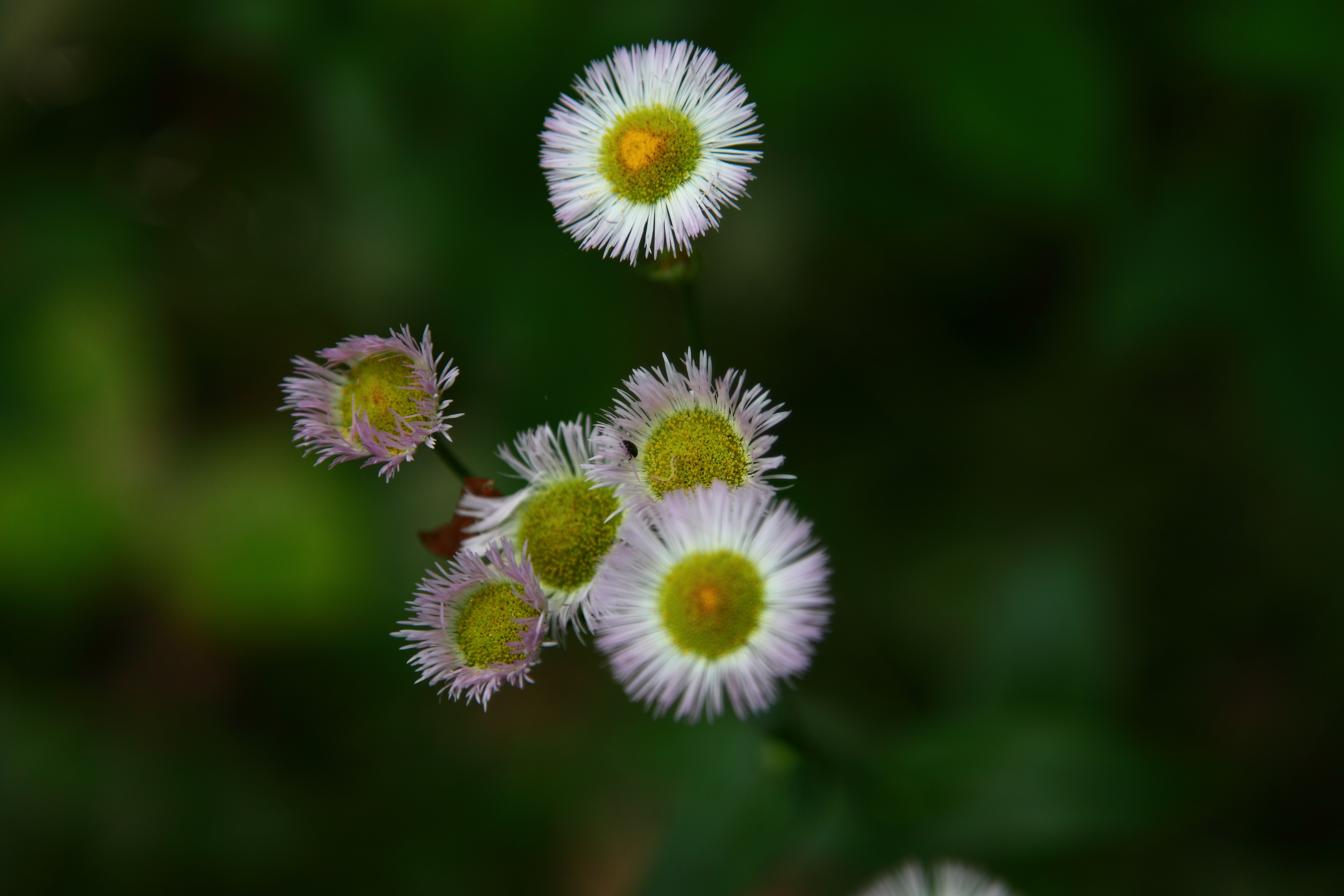 White Wildflower Yellow Center Flowers Free Nature Pictures By