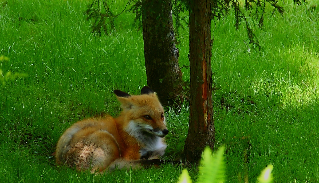 red fox laying grass forest wildlife free nature pictures by