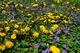 Spring Dandelion Flowers Blooms