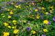 Spring Dandelion Flowers Grass